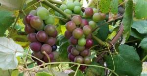 Local Fredonia Lake Erie Region Grapes