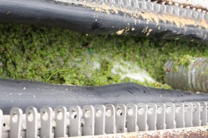 Niagara grapes being pressed