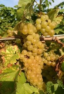 Pinot Blanc Grape